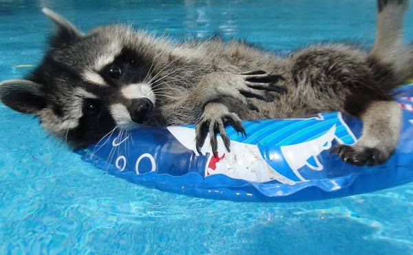 raccoon in pool